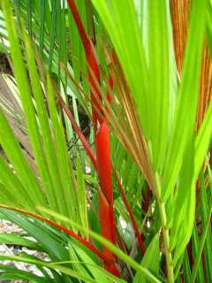 RED SEALING WAX PALM  Cyrtostachys renda   PLANT