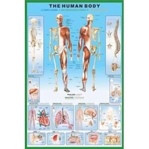 The Human Body Anatomical Diagram Poster 24 x 36 inches
