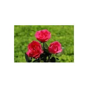 climbing tapestry pink rose seeds!!5 seeds! Patio, Lawn