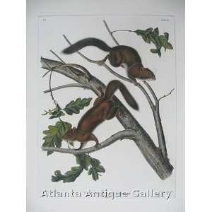 Audubon Restored First Edition Print   PL # XIX Soft Hair