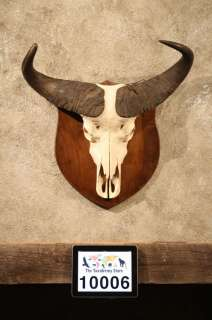 10006 African Cape Buffalo Skull Plaque Taxidermy Mount