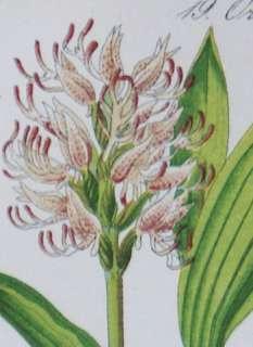 Antique Botanical Print 1880   Monkey Orchid / Orchis Simia Lam