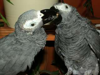 TAXIDERMY KISSING AFRICAN GREY PARROTS STUFFED BIRDS