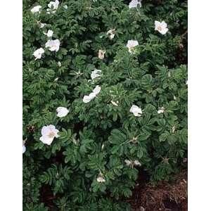 Japanese Shrub Rose (Rosa Rugosa Alba) 10 seeds Patio, Lawn & Garden